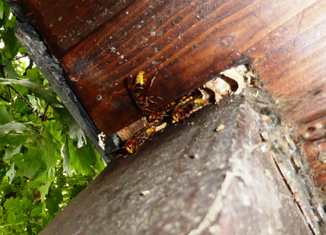 hornissen im haus hornissen im haus dr eckel partner sch dlingsbek mpfung. Black Bedroom Furniture Sets. Home Design Ideas